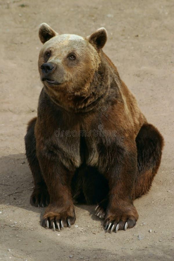 brun european för björn fotografering för bildbyråer