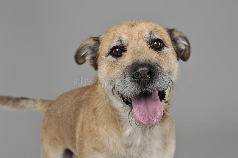 Brun färg band den blandade avelhunden för hår i en grå studio fotografering för bildbyråer