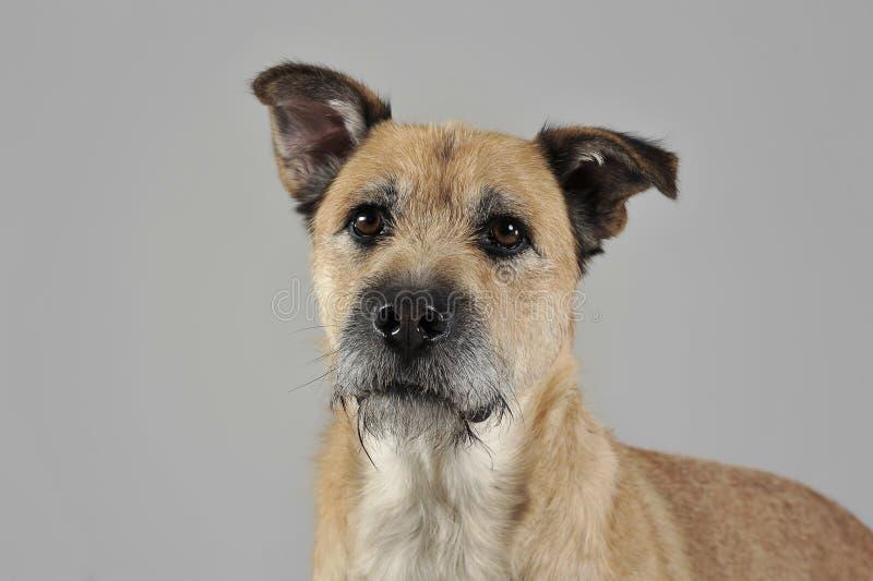 Brun färg band den blandade avelhunden för hår i en grå studio arkivbild