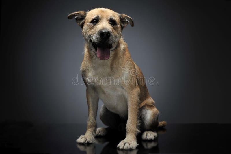 Brun färg band den blandade avelhunden för hår i en grå studio arkivbilder