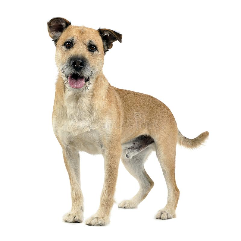 Brun färg band den blandade avelhunden för hår i en vit studio arkivfoton