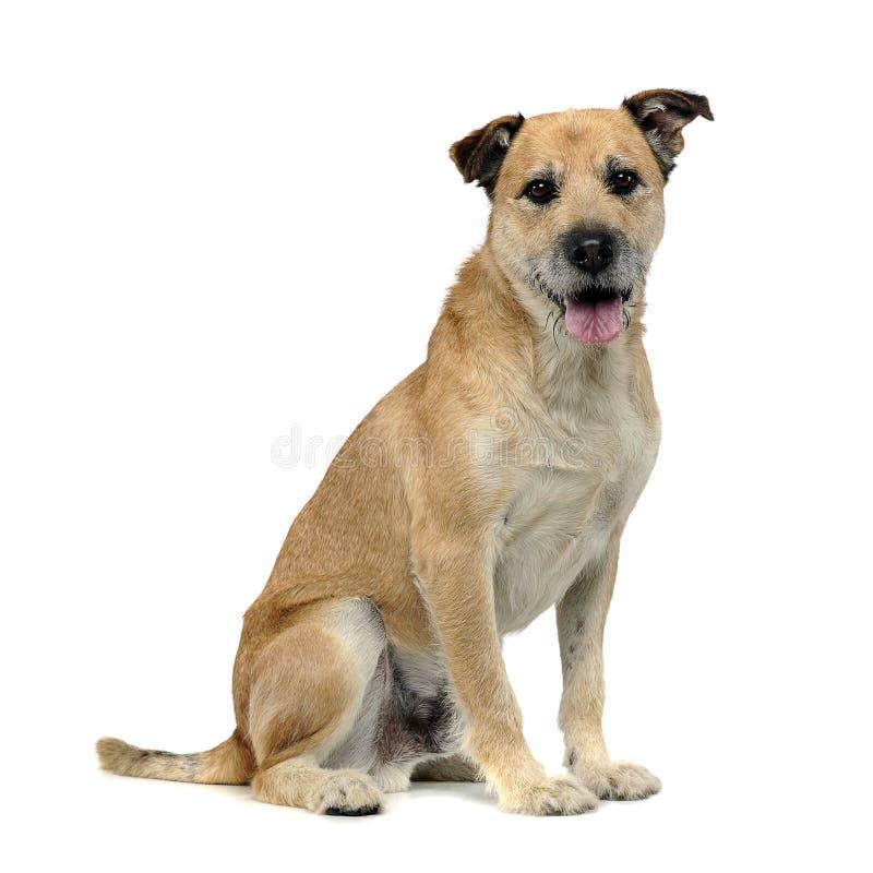 Brun färg band den blandade avelhunden för hår i en vit studio royaltyfri bild