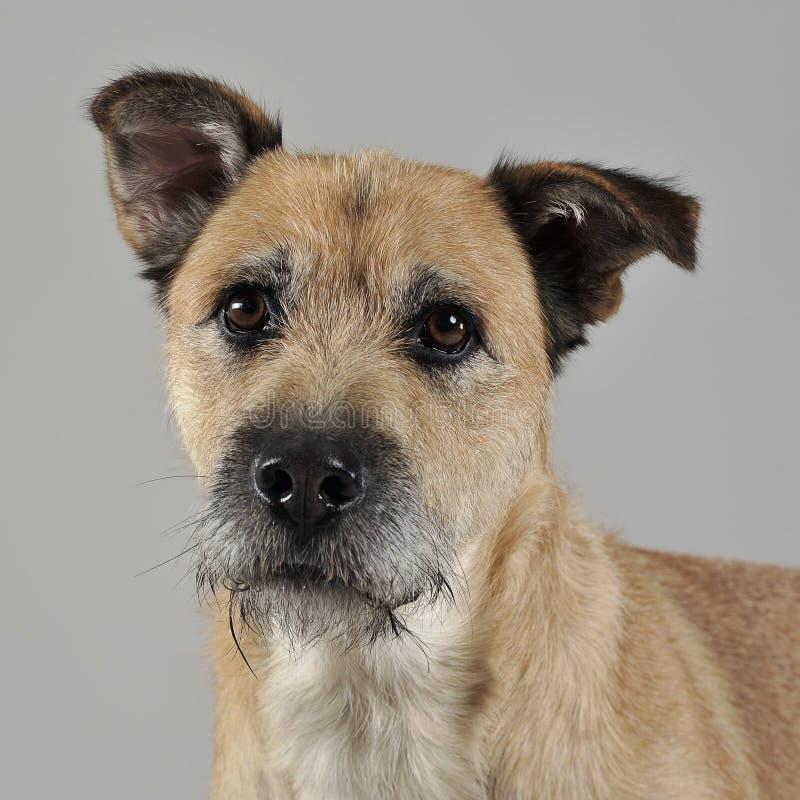 Brun färg band den blandade avelhunden för hår i grå studio royaltyfria bilder