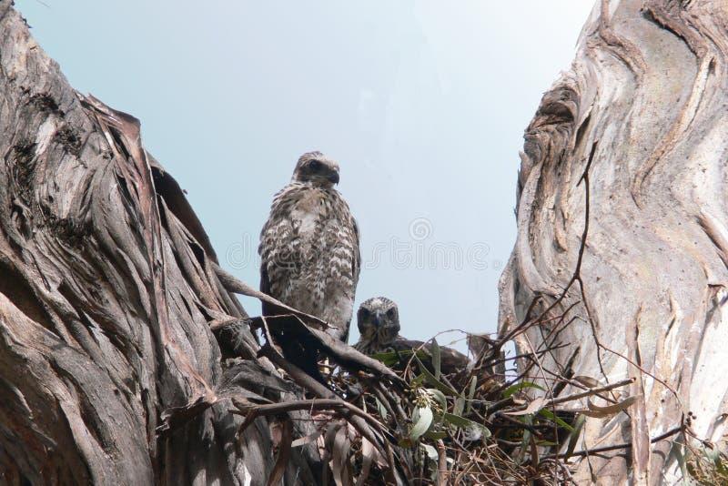 brun fågelungegoshawk fotografering för bildbyråer
