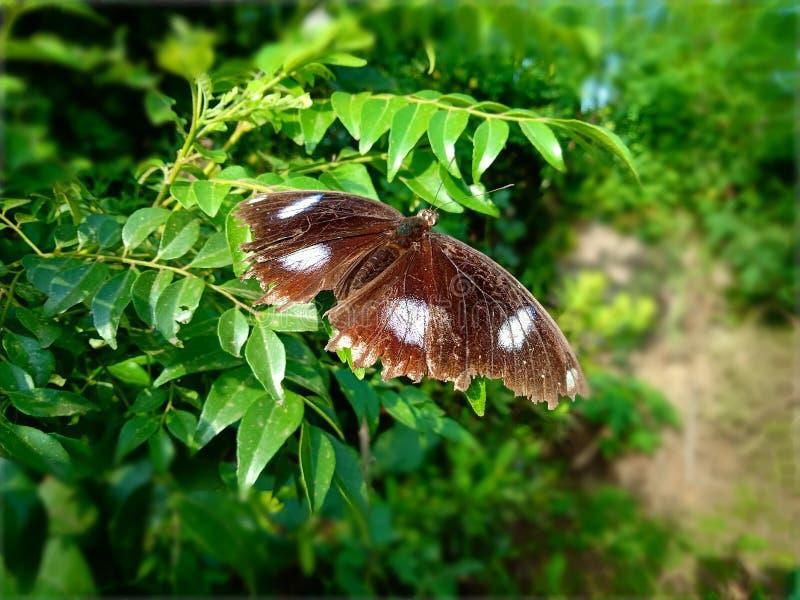 Brun fjäril med vita fläckar på sidor royaltyfri fotografi