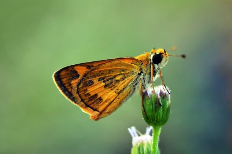 Brun fjäril på ageratum- eller fågelungeogräsblomman arkivfoto