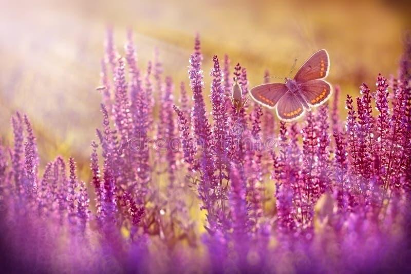 Brun fjäril som flyger över purpurfärgade blommor arkivbilder