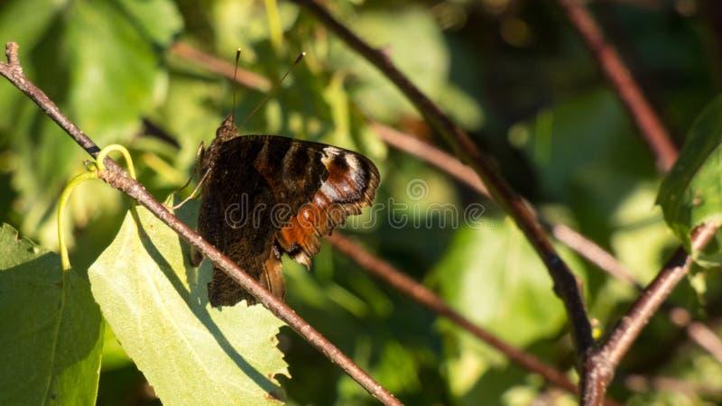 brun fjärilsleaf royaltyfri fotografi
