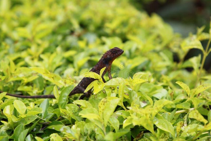 Brun gecko på en gräsbakgrund royaltyfria bilder