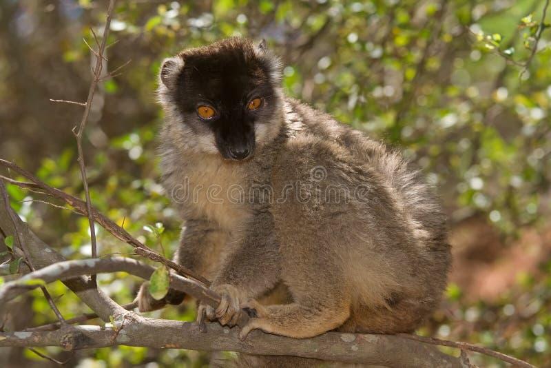 brun gemensam lemur royaltyfri bild