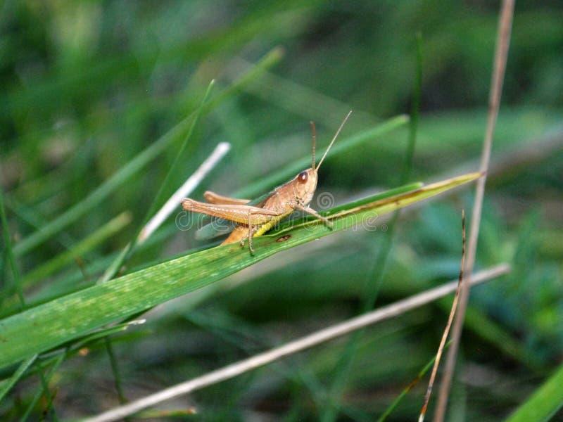 Brun gräshoppa royaltyfri foto