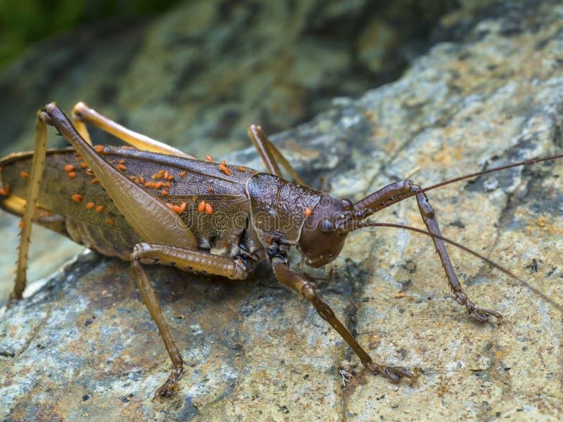 Brun gräshoppa med parasit royaltyfri bild