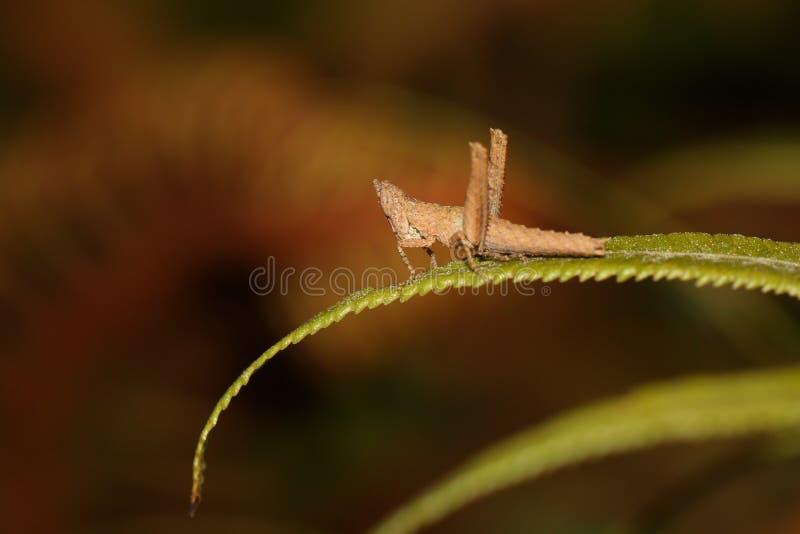 Brun gräshoppa på leafen arkivbild