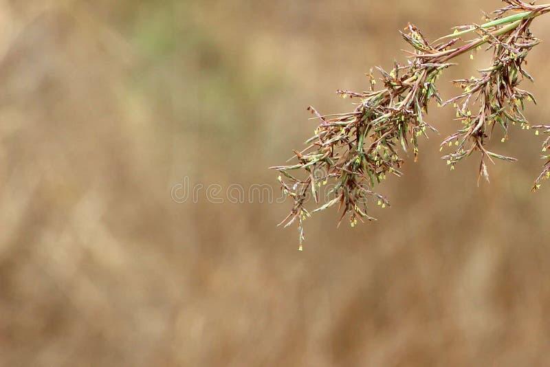 Brun gräsmodellbakgrund eller tapet royaltyfri fotografi