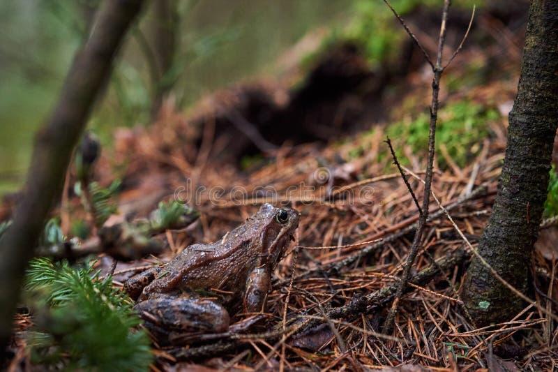 Brun groda i skogen fotografering för bildbyråer