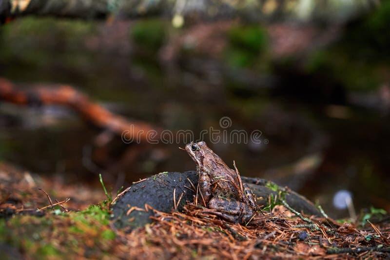 Brun groda i skogen arkivfoto