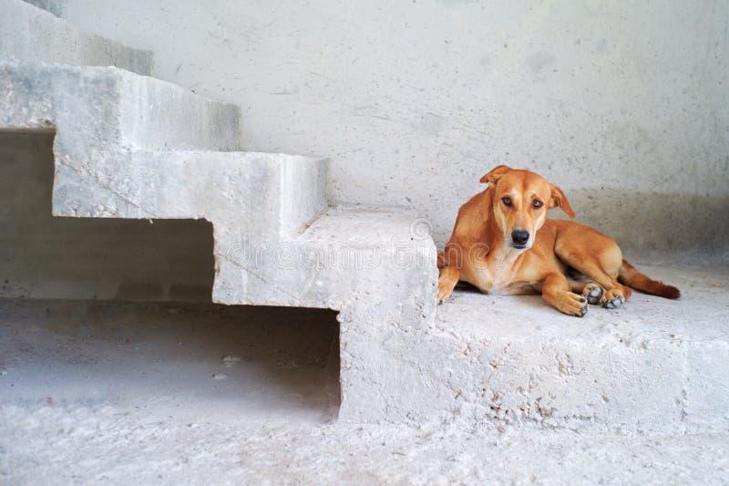 Brun gullig hund som ser kameran och lägger ner på det dammiga cementgolvet på konstruktionsplatsen royaltyfria foton