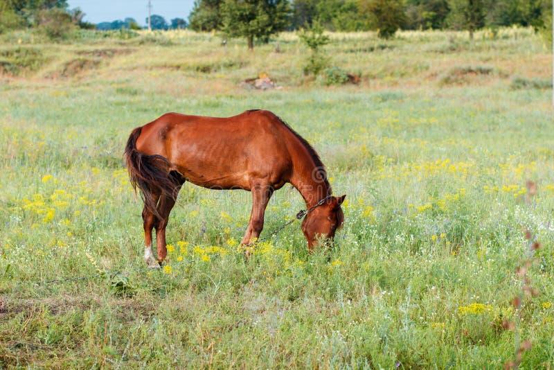 brun häst för ätafältgräs royaltyfri fotografi