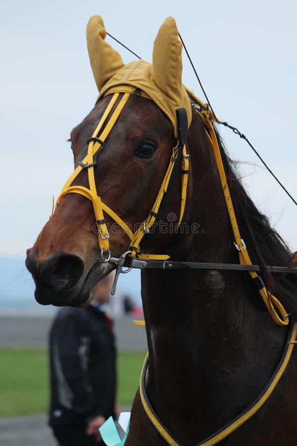 Brun häst i det tävlings- spåret royaltyfri bild