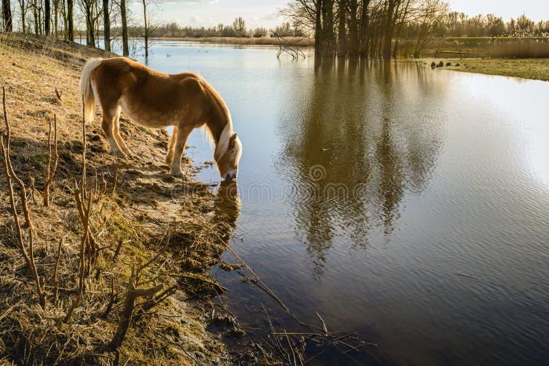 Brun häst med blont man- och svansdrinkvatten från en liten vik arkivfoton