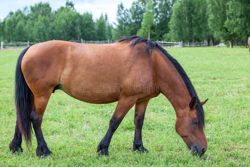 Brun häst på grönt fält fotografering för bildbyråer