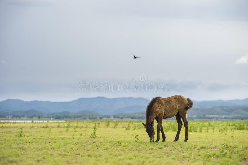 Brun häst som äter gräs på grönt fält royaltyfria foton