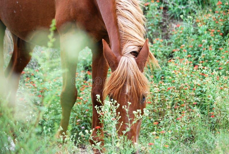 Brun häst som äter i fält royaltyfri foto