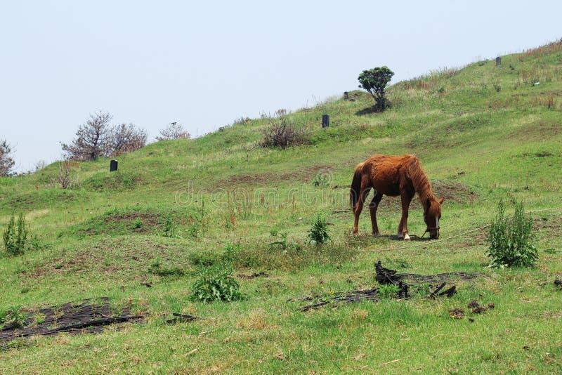 Brun häst som betar i en äng i Udo, Jeju, Korea fotografering för bildbyråer