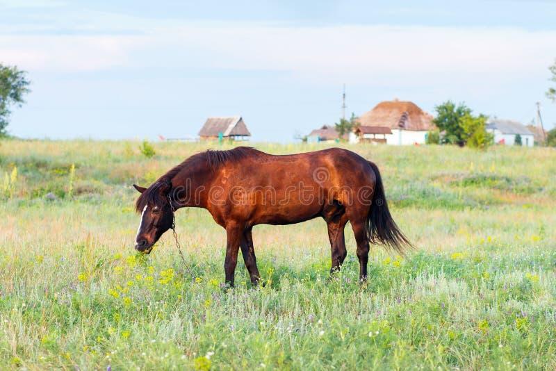 Brun häst som betar på en koppel, häst i fältet på eveningBrownhästen som betar på en koppel, häst i fältet på aftonen royaltyfria foton