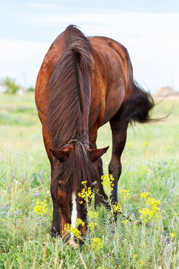 Brun häst som betar på en koppel, häst i fältet på eveningBrownhästen som betar på en koppel, häst i fältet på aftonen royaltyfri foto