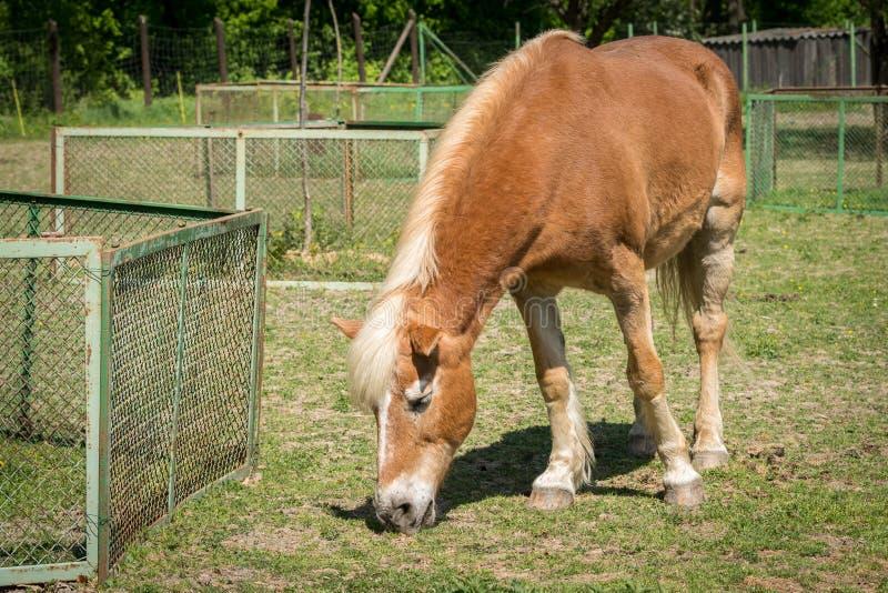 Brun häst som betar på en solig dag i vår royaltyfri foto