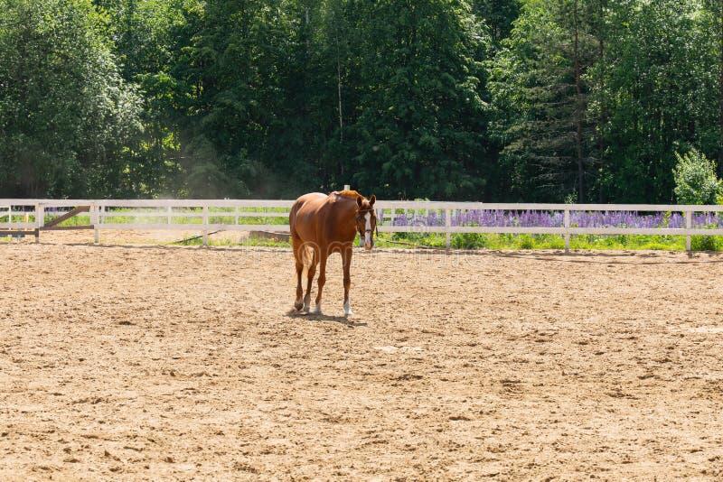 Brun häst som går i ett fäktat fält på en bakgrund av gröna träd royaltyfri bild