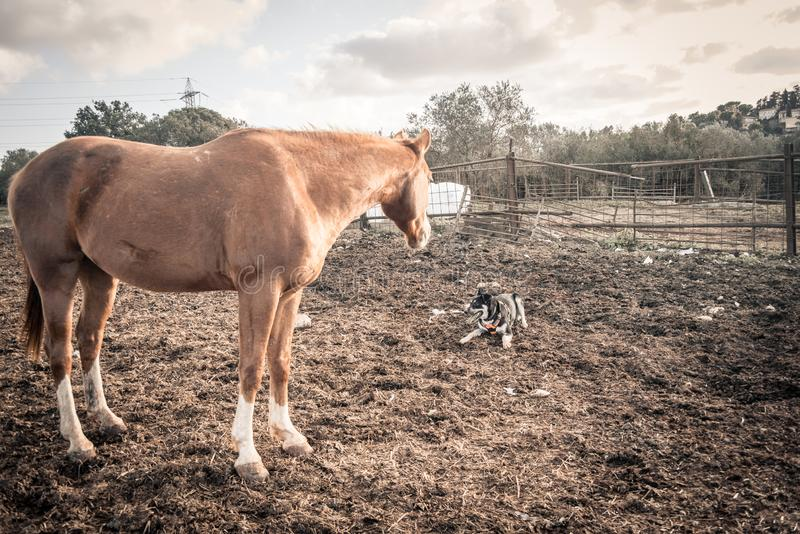 Brun häst som ser en hund i fältet royaltyfria bilder