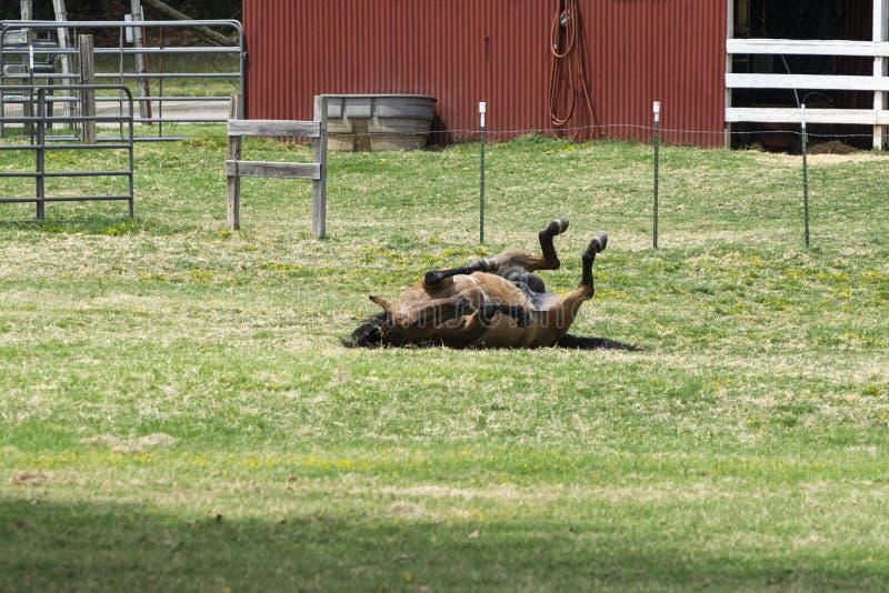 Brun hästrullning på dess baksida i gräset fotografering för bildbyråer