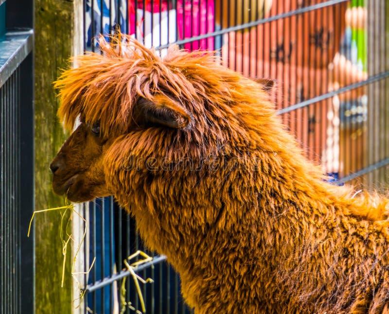 Brun hårig alpaca i slut upp med dess gulliga och förtjusande lantgårddjur för huvud, tropisk specie från Amerika arkivbild
