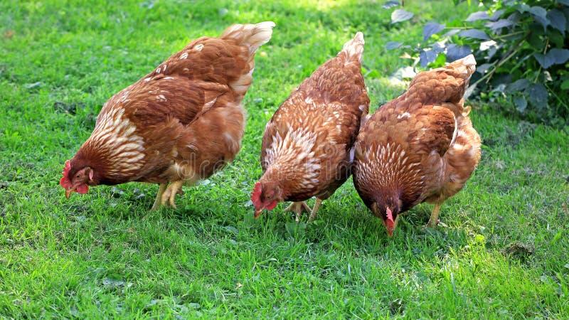 Brun höna som tre äter korn och gräs royaltyfri fotografi