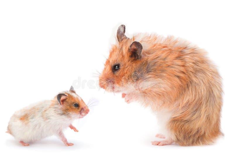 Brun hamster royaltyfria foton
