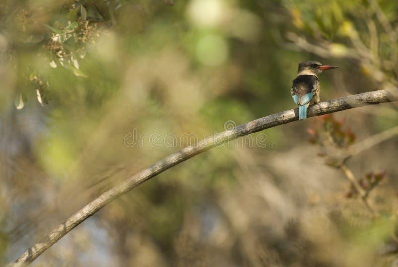 brun hooded kingfisher arkivbilder