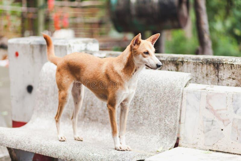 Brun hund, asia hund royaltyfria foton