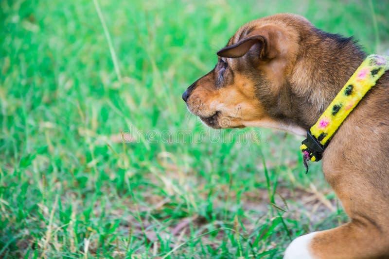 Brun hund i parkera royaltyfri bild