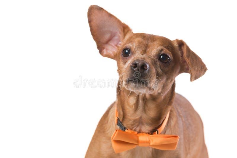 Brun hund med det gula bandet, mode och stil, på vit bakgrund arkivfoton
