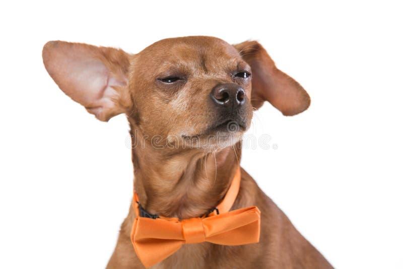 Brun hund med det gula bandet, mode och stil, på vit bakgrund arkivfoto