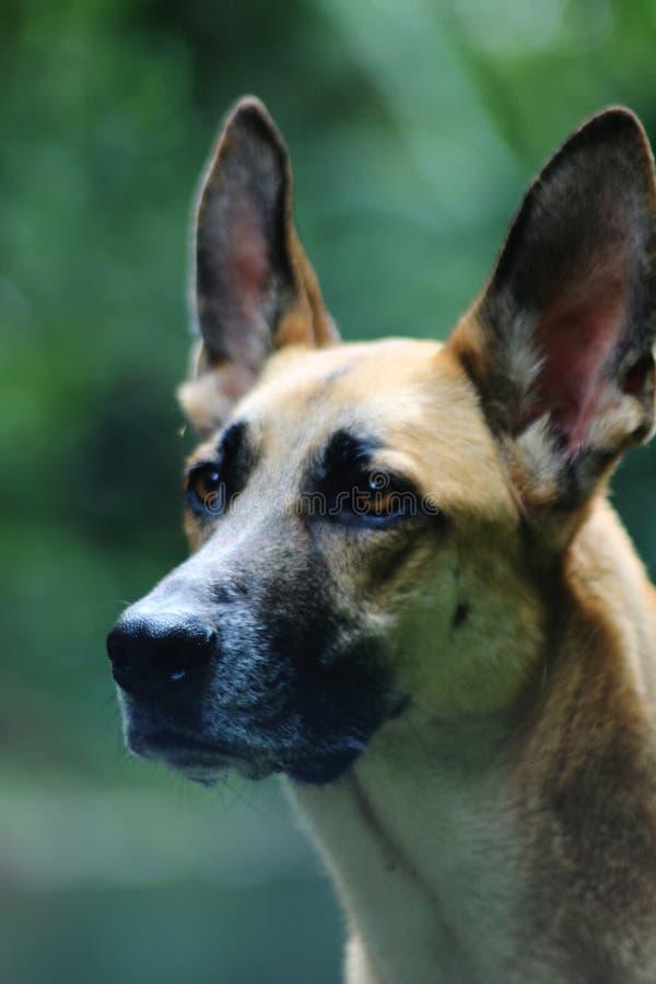 Brun hund med mycket stora öron som ser upp royaltyfri bild