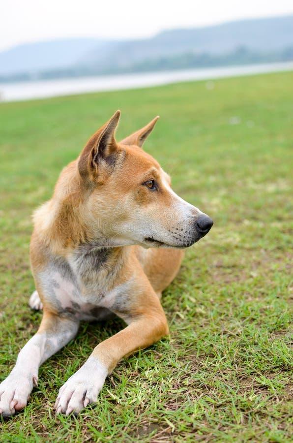 Brun hund på gräs arkivbilder