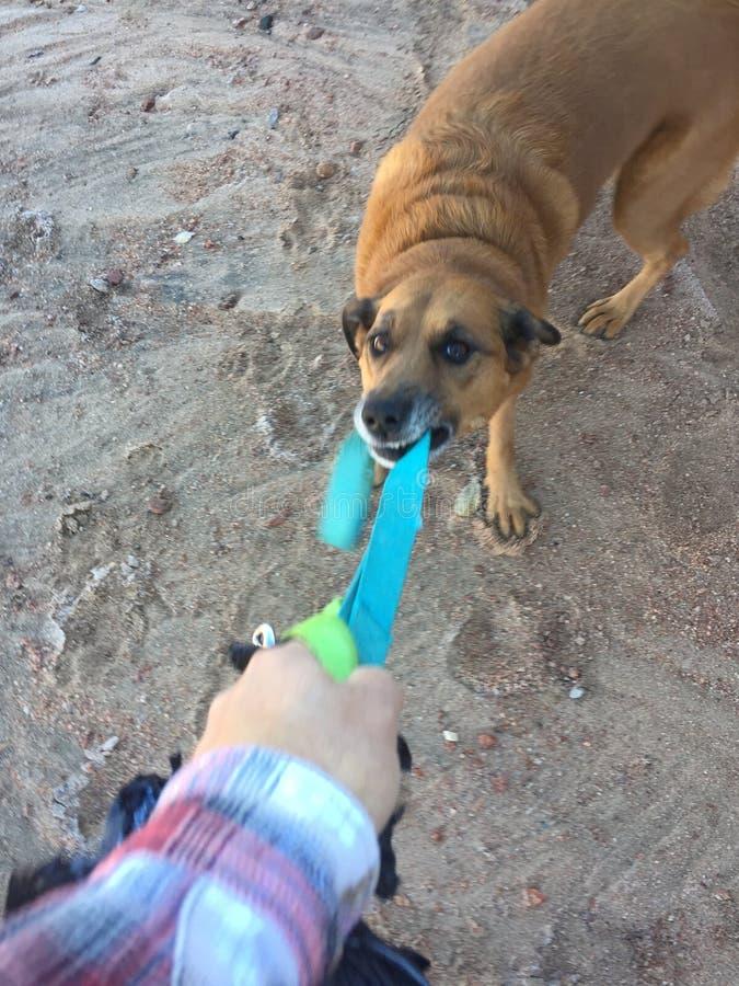 Brun hund som drar på koppeln royaltyfria foton
