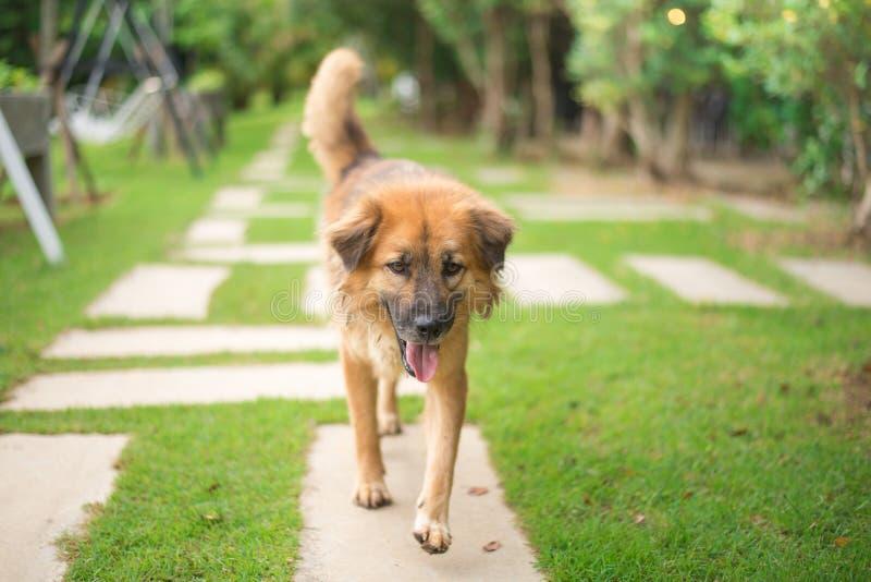 Brun hund som går i parkera arkivfoton