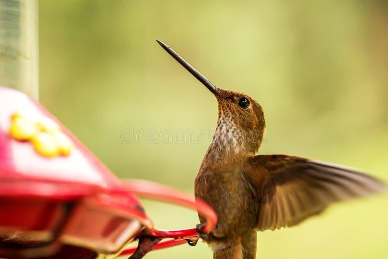 Brun incakolibri med utsträckta vingar, tropisk molnskog, Colombia, fågel som svävar bredvid röd förlagematare med sockervatten,  royaltyfri fotografi
