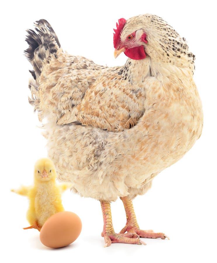 Brun isolerade höna, höna och ägg arkivfoto