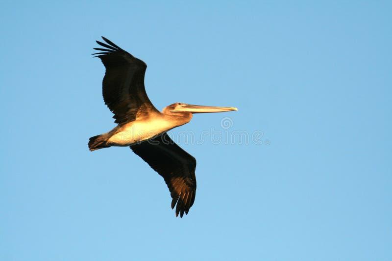 Download Brun Kalifornien pelikan fotografering för bildbyråer. Bild av flotta - 990807
