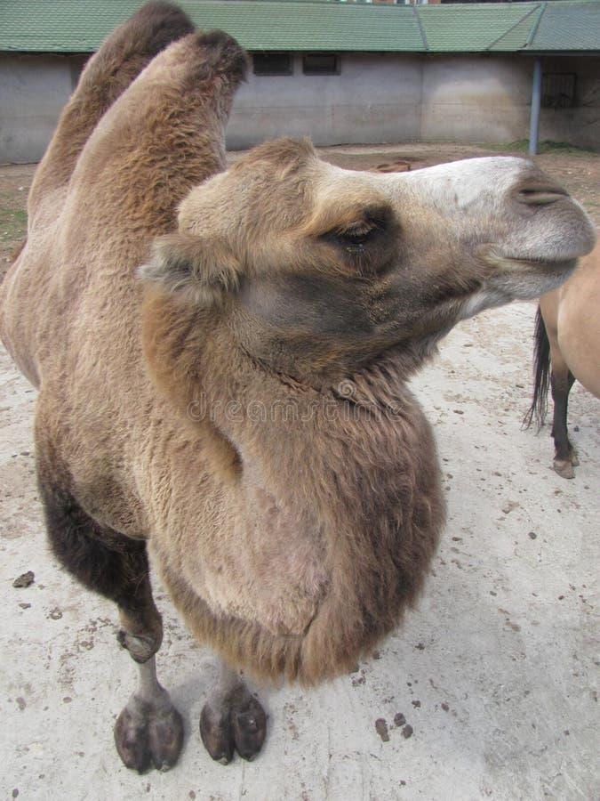 Brun kamel royaltyfri foto